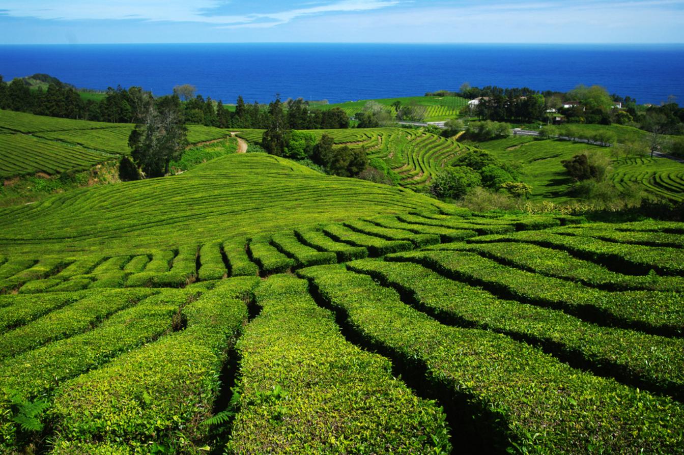 Os benefícios do Chá verde Gorreana