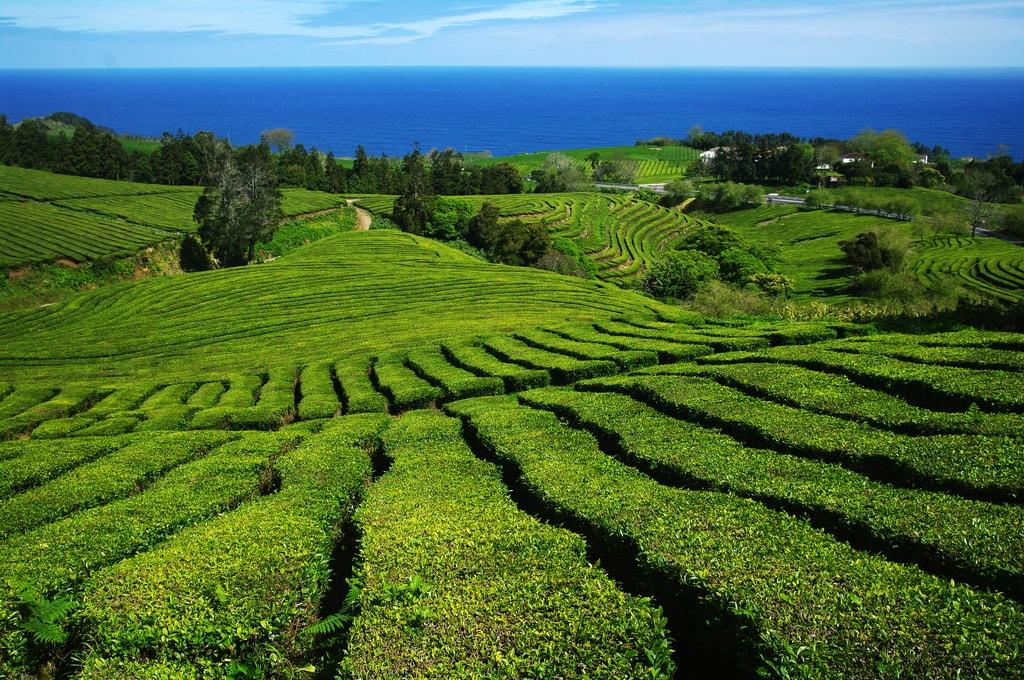plantações chá Gorreana